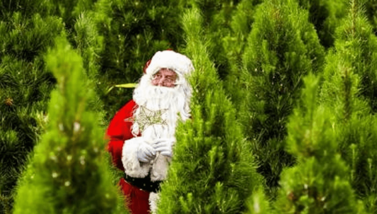 Where to Buy a Real Christmas Tree Sydney