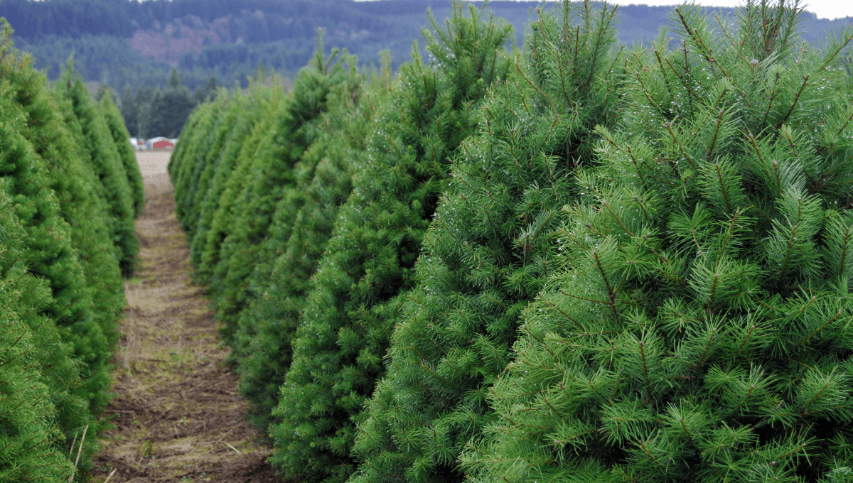 Where to Buy a Real Christmas tree Melbourne
